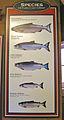 Species of Pacific Coast Salmon King, Chum, Coho, Pink, Sockeye.jpg