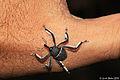 Spider-Weevil (Arachnobas spec.) (4967400933).jpg