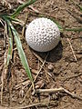 Spiky Puffball.JPG