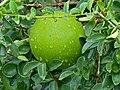 Spiny Monkey-orange (Strychnos spinosa) (12696470965).jpg