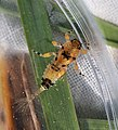 Spiny crawler mayfly, Ephemerella subvaria (31216552542).jpg