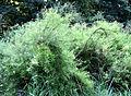 Spiraea thunbergii Fomin1.jpg