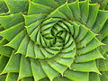 Spiral aloe.jpg