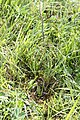 Spiranthes spiralis Chancy 30 08 2014 08.jpg