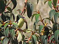 Sporagra spinescens (Jilguero andino) (24192657853).jpg
