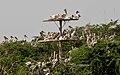 Spot-billed Pelican (Pelecanus philippensis) at nest W IMG 7197.jpg