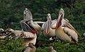 Spot-billed Pelican (Pelecanus philippensis) in Uppalapadu, AP W IMG 3332.jpg