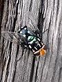Spotted blowfly Sydney.jpg