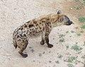 Spotted hyena in Al-Ain Zoo.jpg