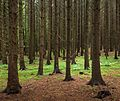 Spruce forest at Holma by Gullmarn 2.jpg