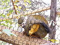 Squirrel Monkey at Lincoln Children's Zoo.JPG