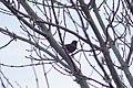 Starling on lookout duty.jpg