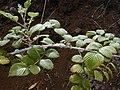 Starr-010423-0041-Rubus niveus-form a leaves and stems-Kula-Maui (24236846230).jpg