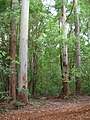 Starr-041024-0001-Eucalyptus sp-habit-Makawao Forest Reserve-Maui (24350454599).jpg