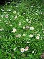 Starr-050815-3382-Erigeron karvinskianus-flowers-Pohakuokala Gulch-Maui (24683373262).jpg
