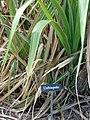 Starr-061106-1416-Saccharum officinarum-var Uahiapele-Maui Nui Botanical Garden-Maui (24572850680).jpg