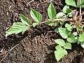 Starr-070908-9398-Rubus niveus-form b coming up in post fire planting area-Polipoli-Maui (24597701540).jpg