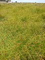 Starr-080608-7710-Cyperus polystachyos-monotypic stand-mauka makai Laysan duck seep West Beach Sand Island-Midway Atoll (24823620121).jpg
