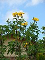 Starr-090416-5976-Tithonia diversifolia-flowers-Makawao-Maui (24656446750).jpg