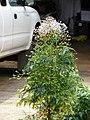 Starr-090421-6295-Melia azedarach-cv Floribunda flowering and fruiting habit-Pukalani-Maui (24926133396).jpg