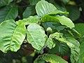Starr-090617-0892-Sandoricum koetjape-leaves and fruit forming-Ulumalu Haiku-Maui (24871667031).jpg