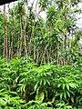 Starr-090618-1095-Costus speciosus-habit-Hana Hwy-Maui (24939309826).jpg