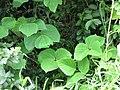 Starr-090618-1216-Pueraria montana var lobata-leaves-Wailua Hana Hwy-Maui (24339100573).jpg