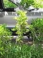 Starr-090813-4208-Cupaniopsis anacardioides-sapling in hedge-Kahului-Maui (24853513872).jpg