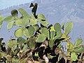 Starr-101102-9453-Opuntia ficus indica-habit-Kula-Maui (24760799250).jpg