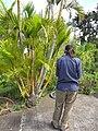 Starr-110307-2076-Chrysalidocarpus lutescens-habit with Kim-Kula Botanical Garden-Maui (25051194126).jpg