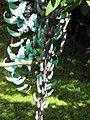 Starr-110330-3819-Strongylodon macrobotrys-flowers-Garden of Eden Keanae-Maui (24987470221).jpg