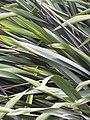 Starr-110331-4499-Phormium tenax-leaves-Shibuya Farm Kula-Maui (25081820305).jpg
