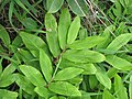 Starr-110722-7755-Zingiber zerumbet-habit-Waihee Ridge Trail-Maui (24983426012).jpg