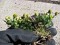 Starr-130801-2774-Matricaria discoidea-flowering habit-Summit HNP-Maui (25232838816).jpg