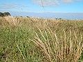 Starr-141229-3211-Andropogon virginicus-habit-Hoku Nui Piiholo-Maui (24618369914).jpg