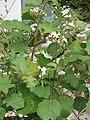 Starr-150329-0121-Solanum torvum-flowers leaves-Community Garden Sand Island-Midway Atoll (24639487714).jpg