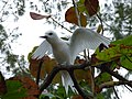 Starr-150401-0228-Hibiscus tiliaceus-White Tern Gun Emplacement-West Beach Sand Island-Midway Atoll (25272475405).jpg