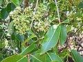 Starr-180820-0331-Syzygium cumini-leaves flowers-Kipahulu Forest Reserve-Maui (29769627887).jpg