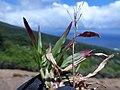 Starr-180820-0342-Chrysopogon aciculatus-seeding habit-Kipahulu Forest Reserve-Maui (43988703154).jpg