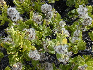 <i>Dubautia</i> genus of plants