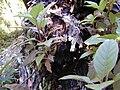 Starr 020518-0008 Cinchona pubescens.jpg