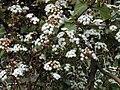 Starr 030419-0053 Ageratina adenophora.jpg