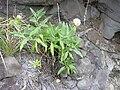 Starr 030805-0046 Centranthus ruber.jpg