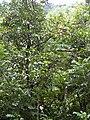 Starr 030807-0039 Syzygium malaccense.jpg