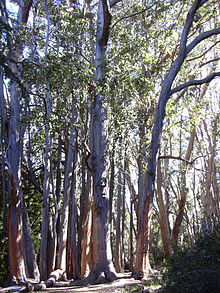 Photograph of tall, pale-barked trees in a woodland area.