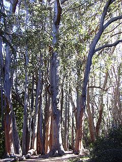 Eucalyptus obliqua species of plant
