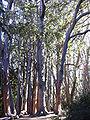 Starr 031214-0056 Eucalyptus obliqua.jpg