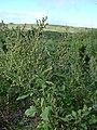 Starr 040120-0209 Chenopodium oahuense.jpg