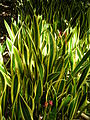 Starr 071024-8807 Sansevieria trifasciata.jpg