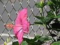 Starr 080117-1795 Hibiscus rosa-sinensis.jpg